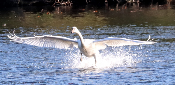 This picture was captured on Huron river and shows a swan as it landed in the water with its wings stretched out.